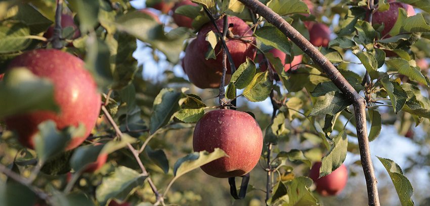 sighteeing_fruit_apple